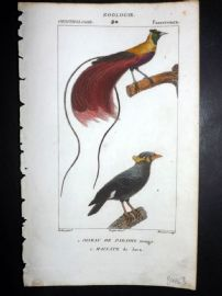 Turpin C1820 Hand Col Bird Print. Bird of Paradise, Common Hill Myna 30